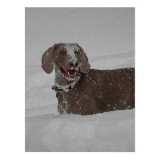 Weimaraner in deep snow postcard