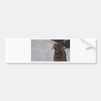 Weimaraner in the snow bumper sticker