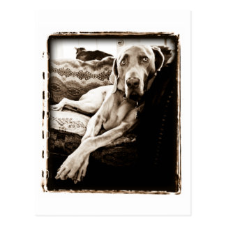 "Weimaraner Nation : ""Ballou's Chair"" Postcard"