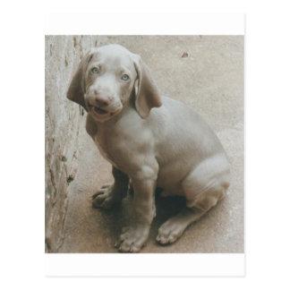 weimaraner puppy cute postcard
