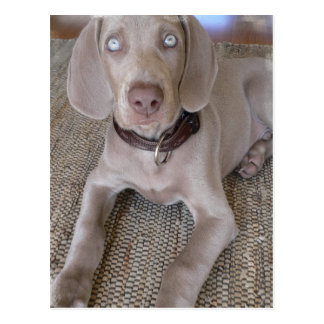 Weimaraner Puppy Postcard