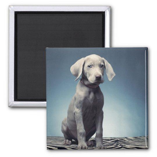 Weimaraner puppy square magnet