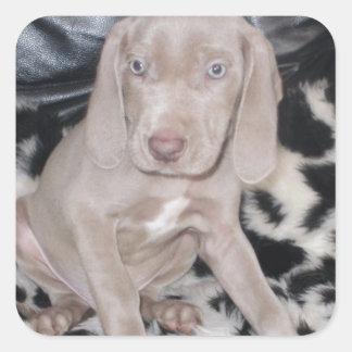 Weimaraner Puppy Square Sticker