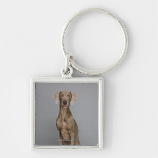 Weimaraner sitting, studio shot Silver-Colored square key ring