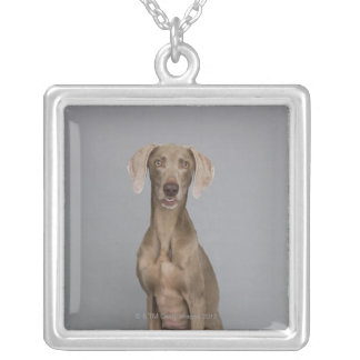 Weimaraner sitting, studio shot silver plated necklace