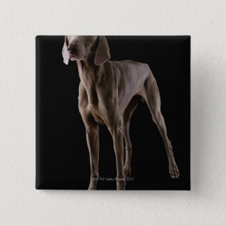 Weimaraner, studio shot 15 cm square badge