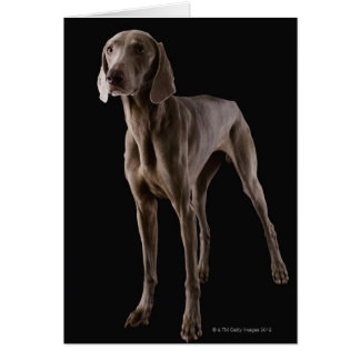 Weimaraner, studio shot card