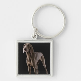 Weimaraner, studio shot key ring