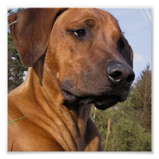 Weimeraner Dog Print