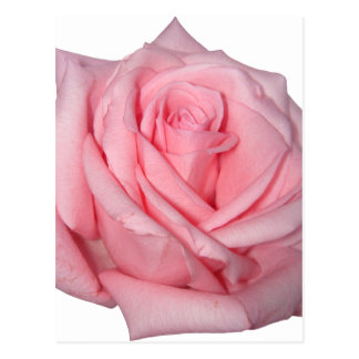Wellcoda Pink Rose Romantic Flower Power Postcard