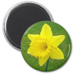 Welsh Daffodil Refrigerator Magnet