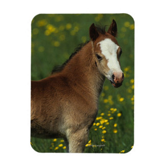 Welsh Foal Rectangular Photo Magnet