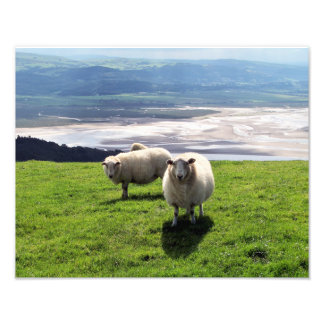 WELSH MOUNTAIN SHEEP PHOTO PRINT
