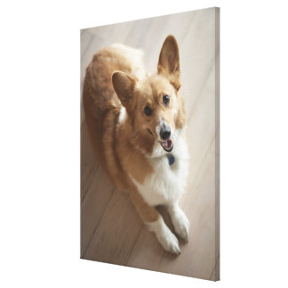 Welsh Pembroke corgi dog lying on wood floor. Canvas Print