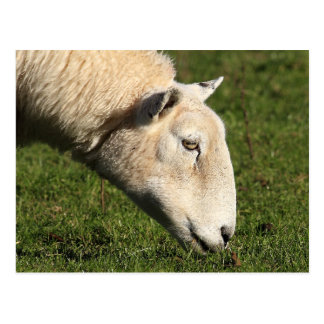 Welsh Sheep Postcard