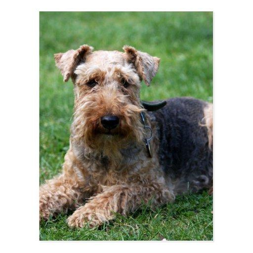 Welsh terrier dog beautiful photo postcard