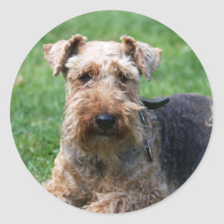 Welsh terrier dog beautiful photo sticker stickers