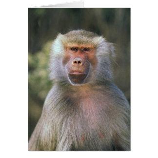 West Africa. Hamadryas baboon, or papio Card