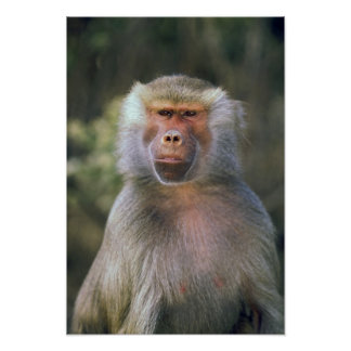 West Africa. Hamadryas baboon, or papio Poster