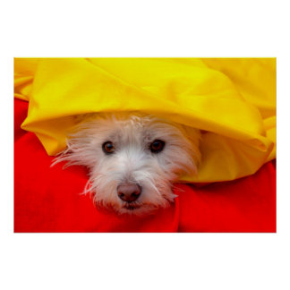 West Highland White Terrier peeking out of yellow Poster