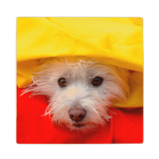 West Highland White Terrier peeking out of yellow Wood Coaster