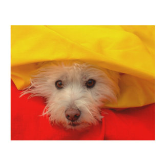 West Highland White Terrier peeking out of yellow Wood Print