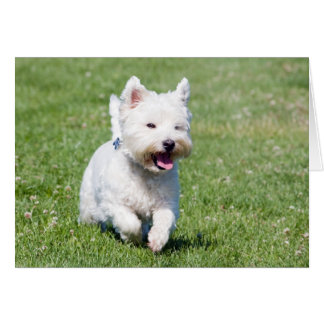 West Highland White Terrier, westie dog cute photo Card