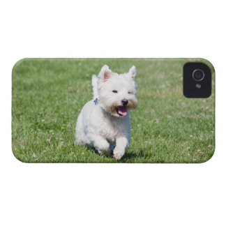 West Highland White Terrier, westie dog cute photo iPhone 4 Covers