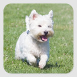 West Highland White Terrier, westie dog cute photo Square Sticker