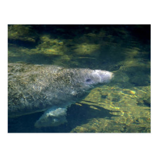West Indian (Florida) Manatee-breathing Postcard
