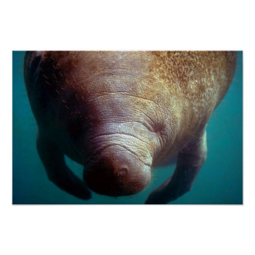 West Indian (Florida) Manatee-underwater Poster