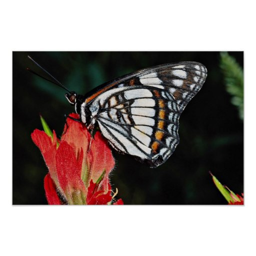 Western admiral on red Indian paintbrush flower  f Print