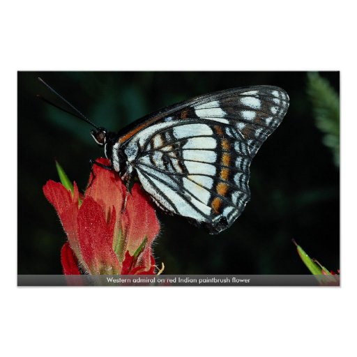 Western admiral on red Indian paintbrush flower Poster