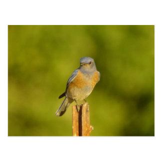 Western Bluebird 2 Postcard