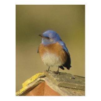 Western Bluebird 3 Postcard