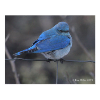 Western Bluebird Cold Post Cards