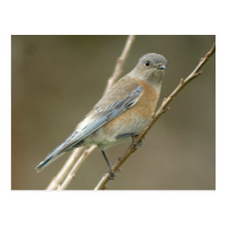 Western Bluebird female 1 Postcard