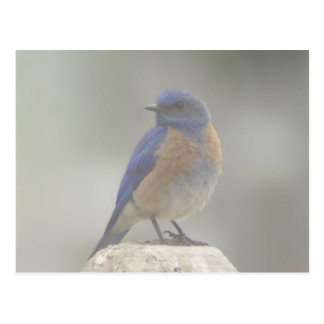 Western Bluebird in fog Postcard