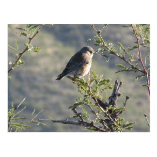 Western Bluebird in Mesquite Tree Postcard