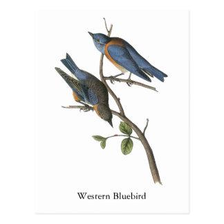 Western Bluebird, John Audubon Postcard