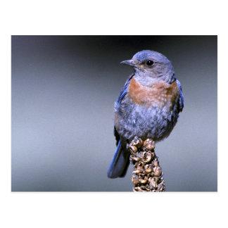 Western Bluebird Postcard