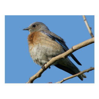 Western Bluebird Post Card
