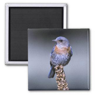 Western Bluebird Refrigerator Magnet