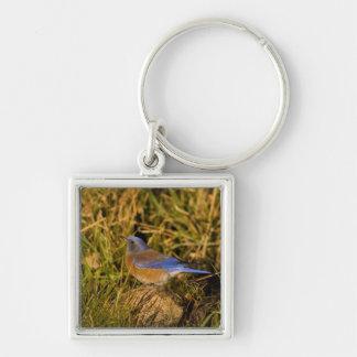 Western bluebird, Sialia mexicana, adult male Key Ring