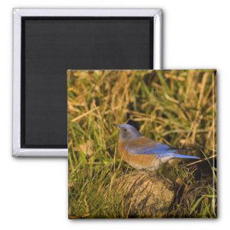 Western bluebird, Sialia mexicana, adult male Magnet
