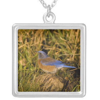 Western bluebird, Sialia mexicana, adult male Silver Plated Necklace