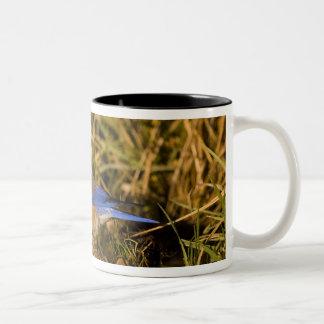 Western bluebird, Sialia mexicana, adult male Two-Tone Coffee Mug
