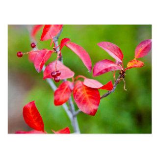Western Choke Cherry (Prunus Virginiana) In Fall Postcard