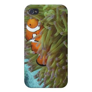 Western Clownfish ( Amphiprion oaris ), in iPhone 4/4S Case