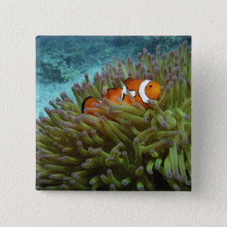 Western Clownfish ( Amphiprion ocellaris ), in 15 Cm Square Badge